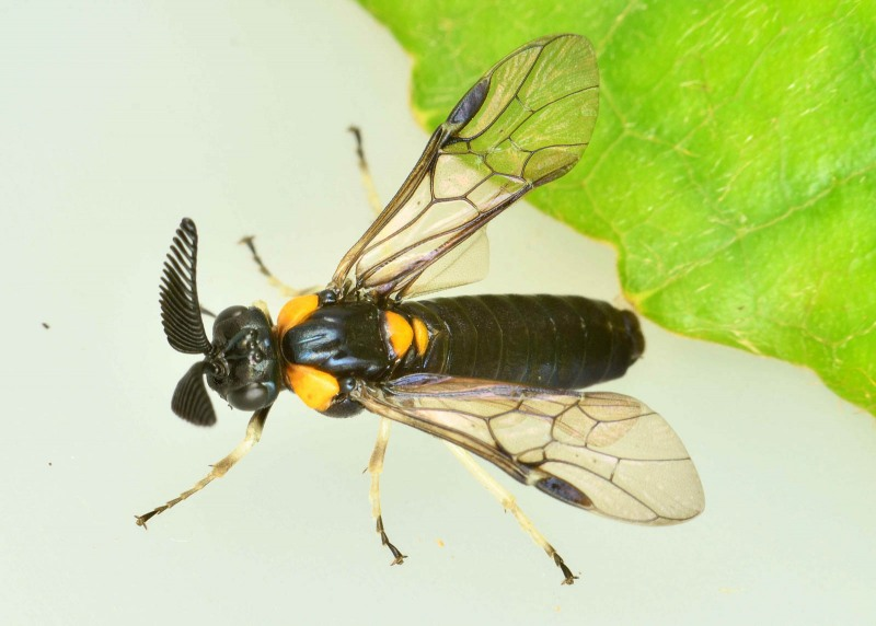 Male of Lophyrotoma cyanea (Leach). Photo: Steve Marshall
