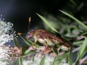 Acanthoperga cameronii on eucalypt. Photo: Anne-Marie McKinnon.