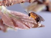 Female of Styracotechys dicelysma Benson ovipositing into the midrib of a leaf of Austrosteenisia blackii. Photo: Stefan Schmidt
