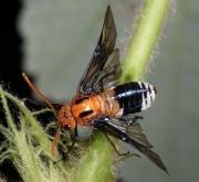 Female of Philomastix macleaii. Photo: David C.F. Rentz.