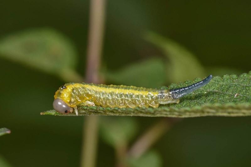 Pterygophorus sp. Photo: Steve Marshall