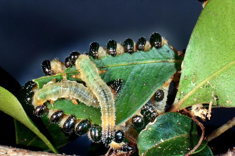 Larvae of Acanthoperga marlatti feeding on Acmena smithii. Photo: Stefan Schmidt