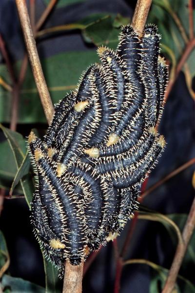 Cluster of Perga dorsalis larvae resting on eucalypt branch. Photo: Stefan Schmidt