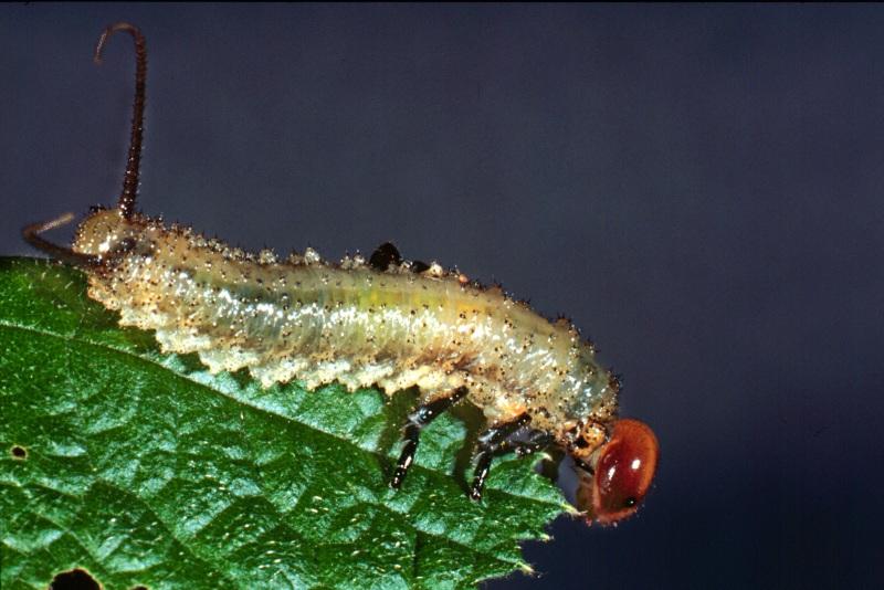 Larva of Philomastix macleaii feeding on Rubus. Photo: Stefan Schmidt