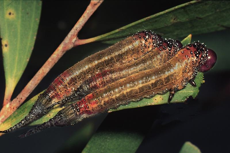 Larvae of Lophyrotoma zonalis on feeding on paperbark (Melaleuca quinquenervia). Photo: Stefan Schmidt.