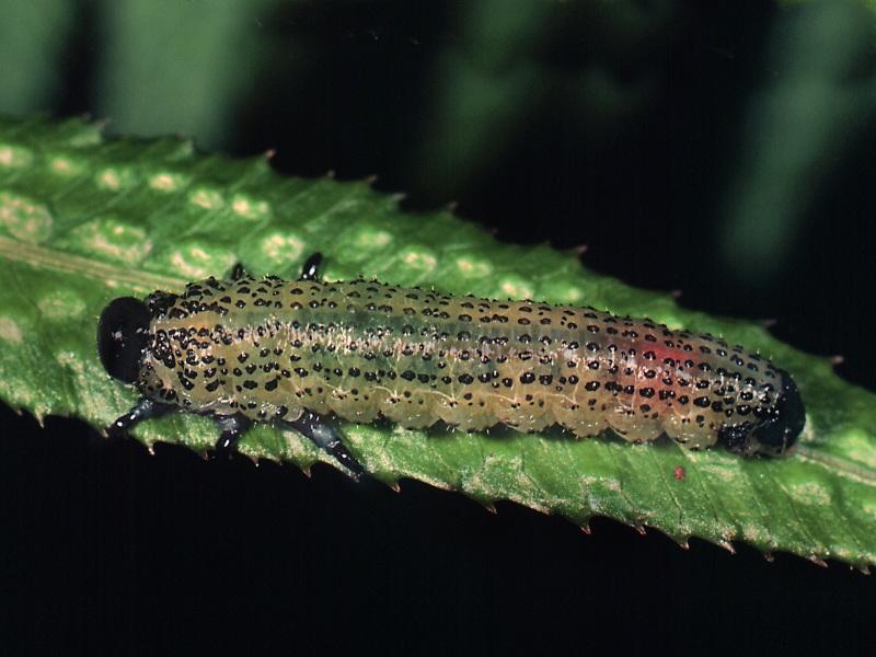 Larva of Pteryperga hyaloptera. The host plant is still uncertain. Photo: Stefan Schmidt.