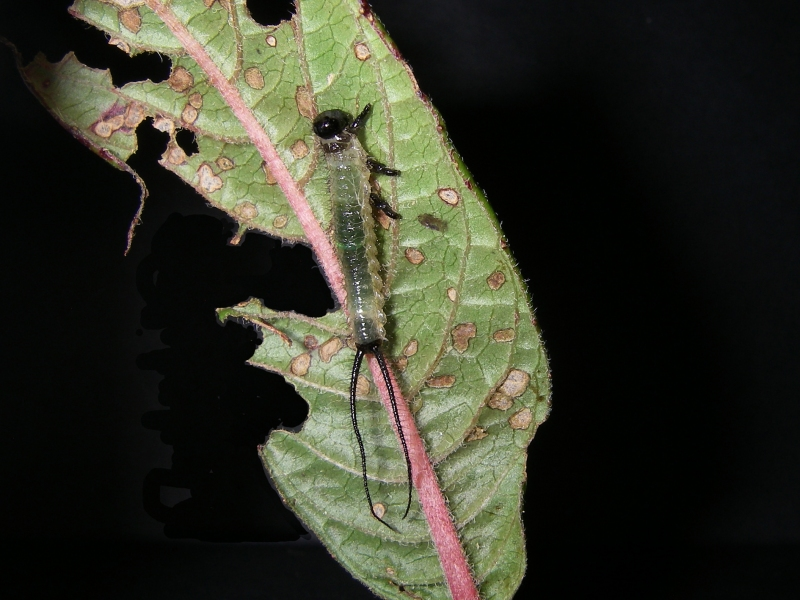 Larva of Lagideus podocarpus feeding on Fuchsia vulcanica. Photo: Jean-Luc Boevé.