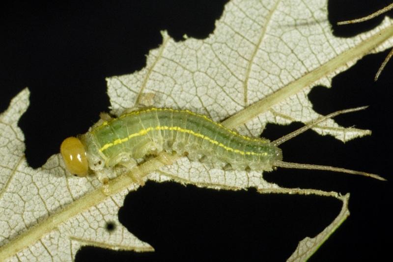 Philomastix xanthophylax feeding on Alphitonia excelsa. Photo: Stefan Schmidt.