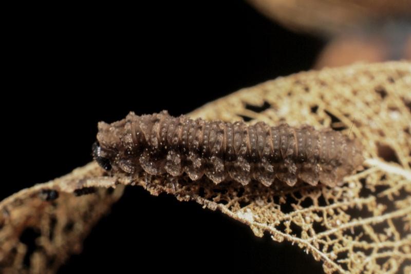 Larva of Polyclonus atratus Kirby feeding on decaying eucalypt leaves. Photo: Stefan Schmidt.