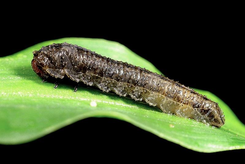 Larva of Clarissa sp. Photo: Jan Grigg.