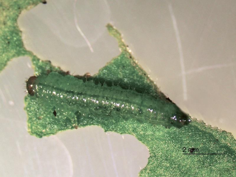 Larva of Tequus schrottkyi feeding on potato. Photo: Paula Altesor.
