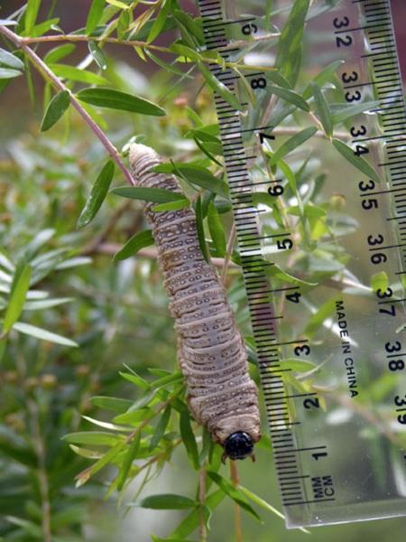 Larvae of unkown species of Perginae. Photo: Alice Wells.