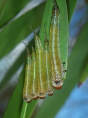 Lophyrotoma zonalis larvae feeding on paperbark (Melaleuca). Photo: Anne-Marie McKinnon.
