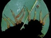 Larve of Lohyrotoma interrupta feeding on eucalypt leaf. Photo: Anne-Marie McKinnon.