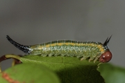 Larva of Pterygophorus sp. feeding on Syzygium. Photo: Stefan Schmidt.