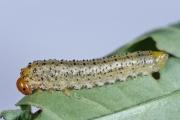 Larva of the dock sawfly, Lophyrotoma analis feeding on Rumex. Photo: Stefan Schmidt.