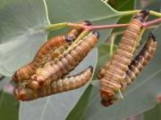 Larvae of unkown species of Perginae. Photo: Greg Daniels.