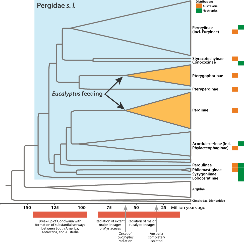 Simplified phylogeny of Pergidae with host plant information in relation to major geological events. After: Schmidt, S. & Walter, G.H. (2014): Young clades in an old family: Major evolutionary transitions and diversification of the eucalypt-feeding pergid sawflies in Australia (Insecta, Hymenoptera, Pergidae). Molecular Phylogenetics and Evolution 74, 111–121.