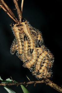 Pergagrapta polita larvae